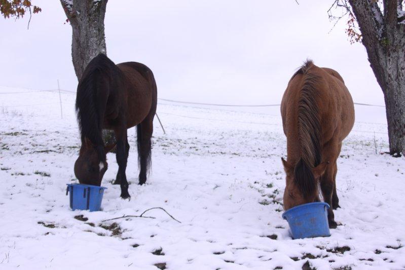 Ponys beim Frühstück