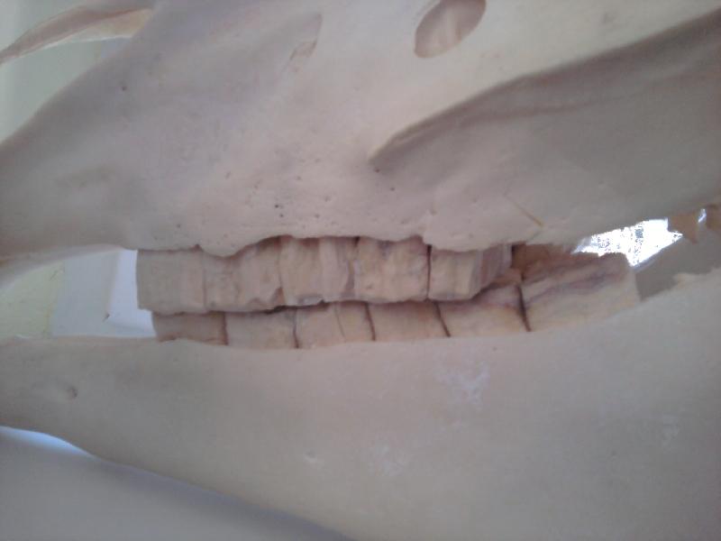 Zähne Pferd