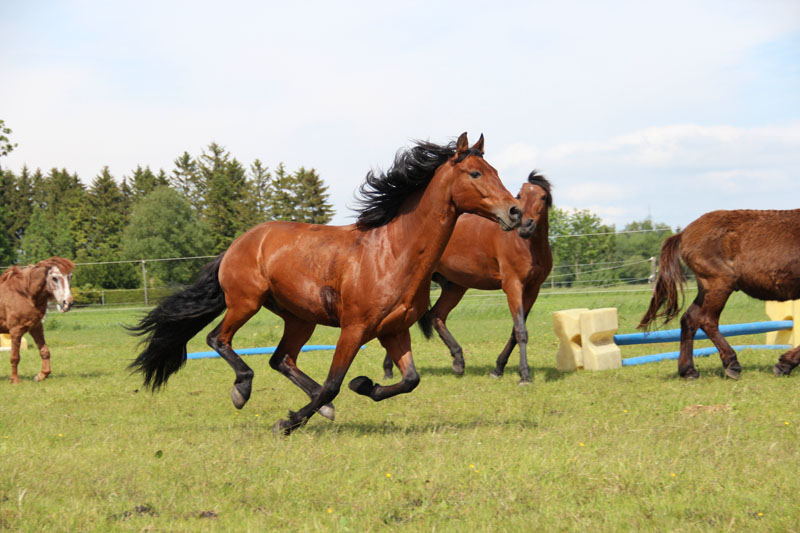 Veneroso mit seinen Pferdekumpels auf der Koppel
