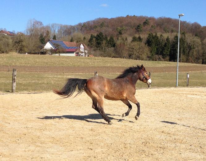 Penny das Pony im Galopp