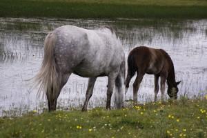 Pferde am Wild Atlantic Way