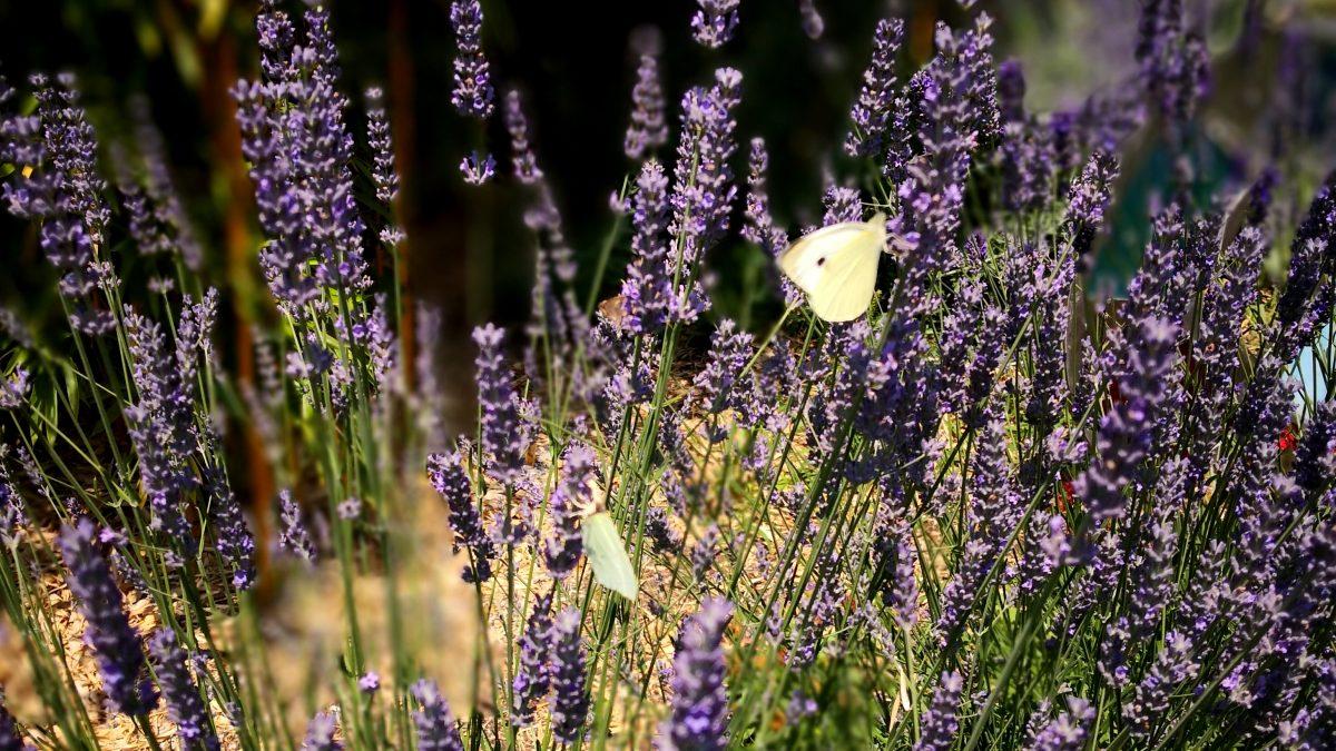 Lavendel mit Schmetterlink